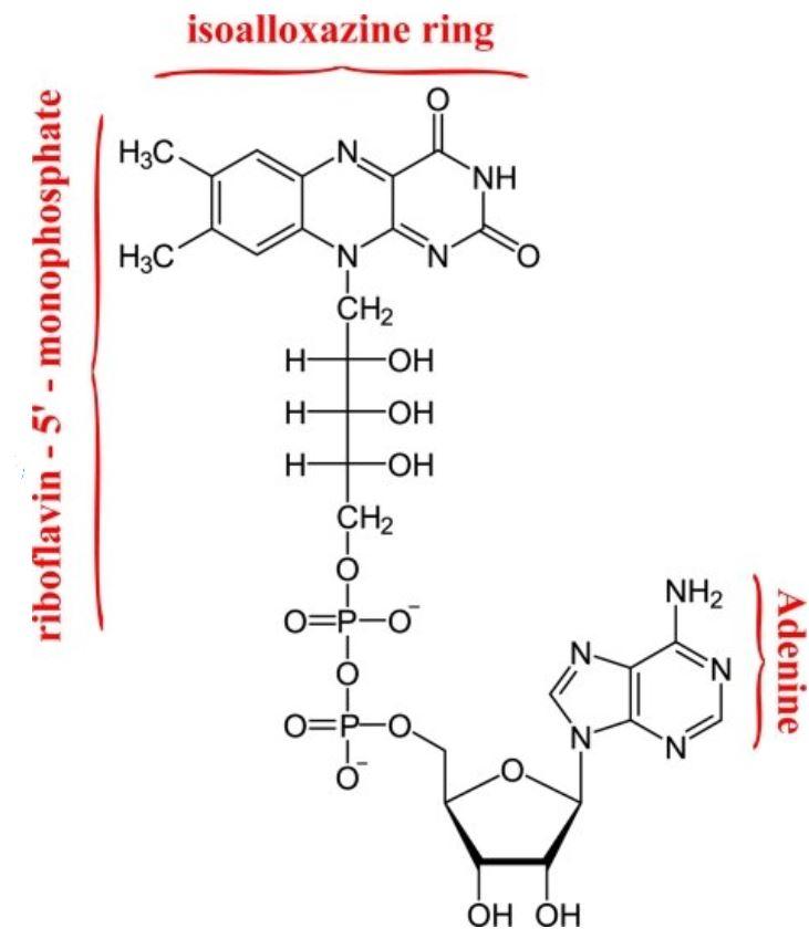 فلافين أدينين ثنائي النيوكليوتيد (ثنائي نيوكليوتيد الفلافين والأدينين) Flavin Adenine Dinucleotide