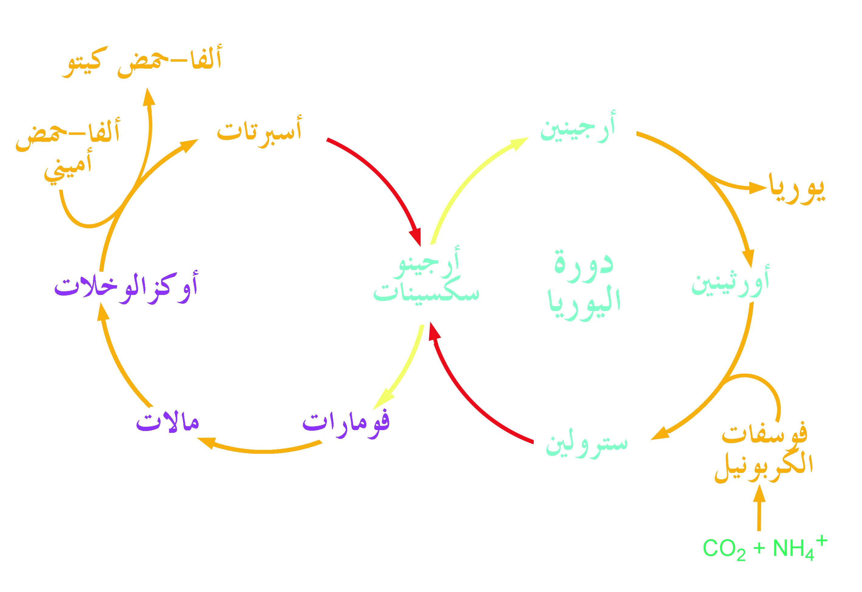دورة اليوريا (دورة الأورنيثين) Urea Cycle